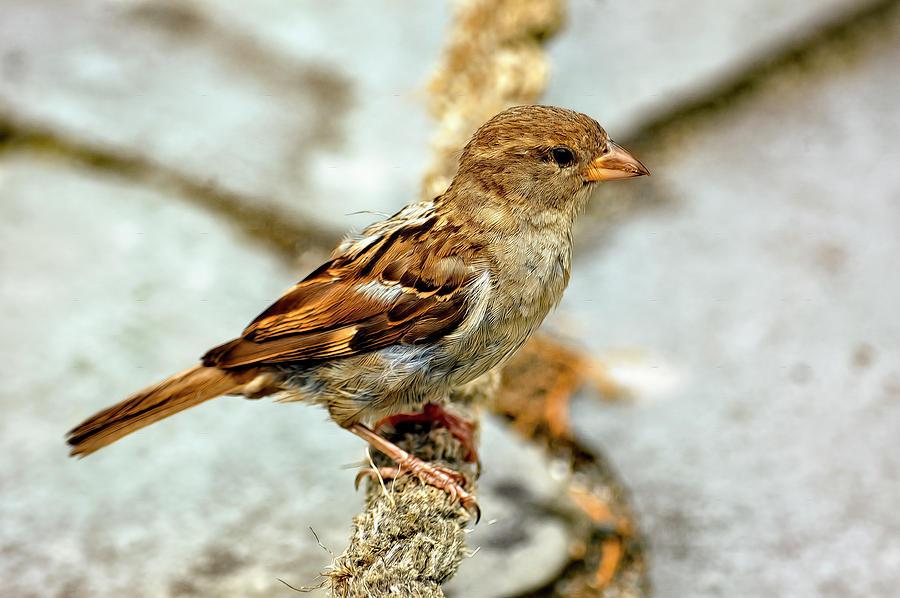 House Sparrow by PAUL COCO