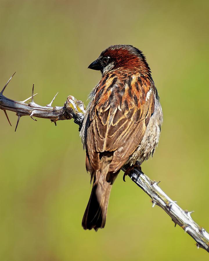 House Sparrow V1818 Photograph