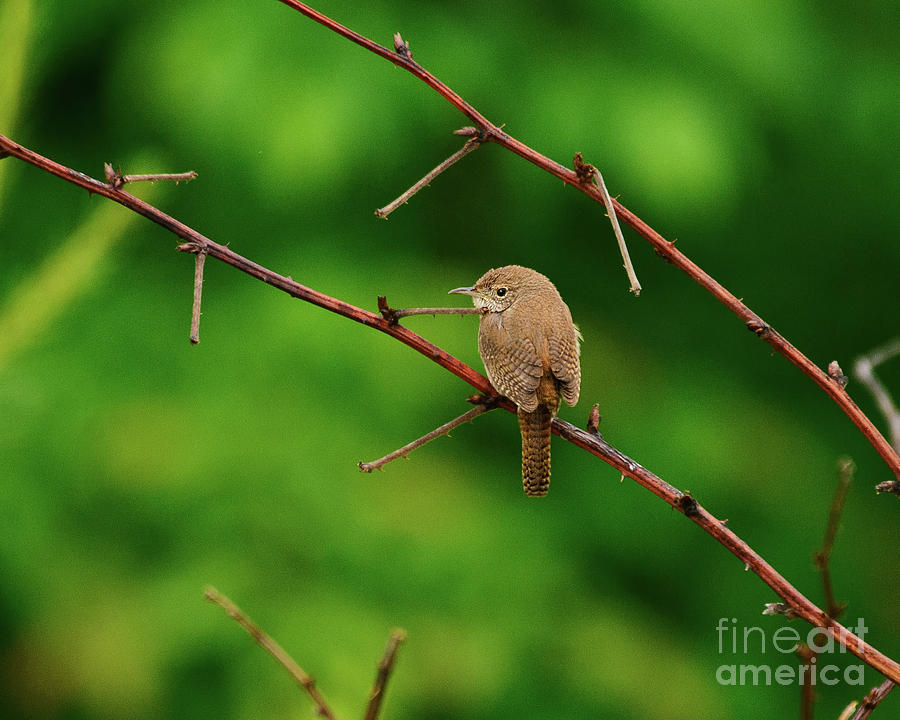 House Wren Perched by Timothy Flanigan