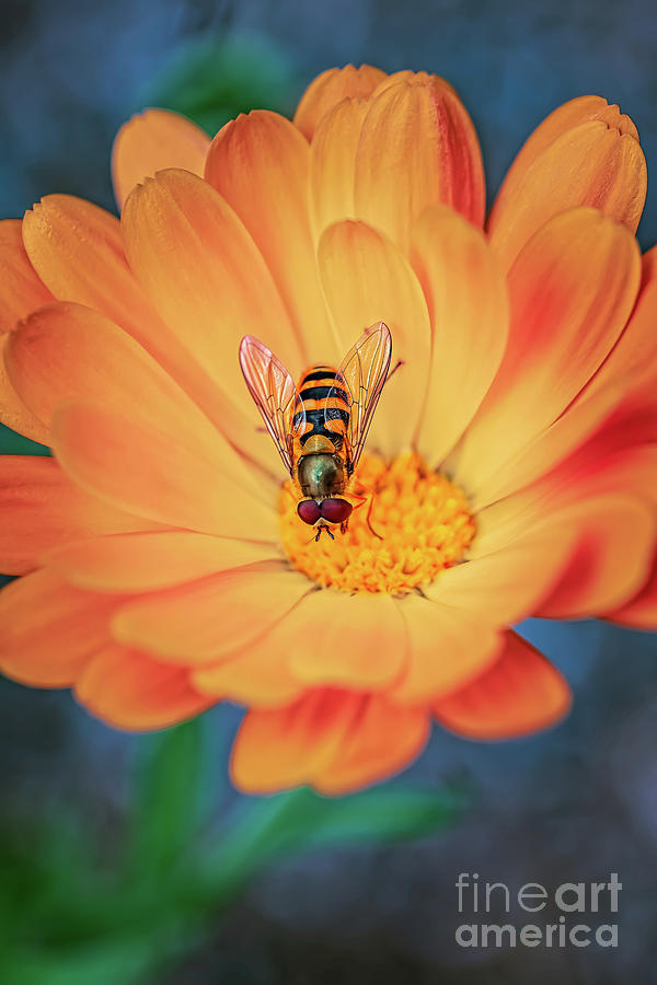 Hoverfly by Adrian Evans