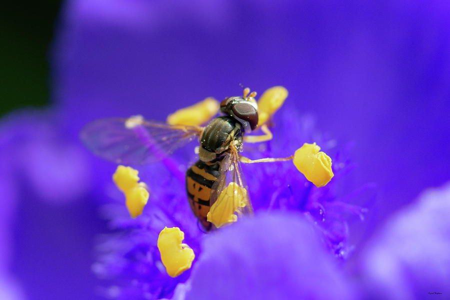 Hoverfly on a Purple Plant by Crystal Wightman