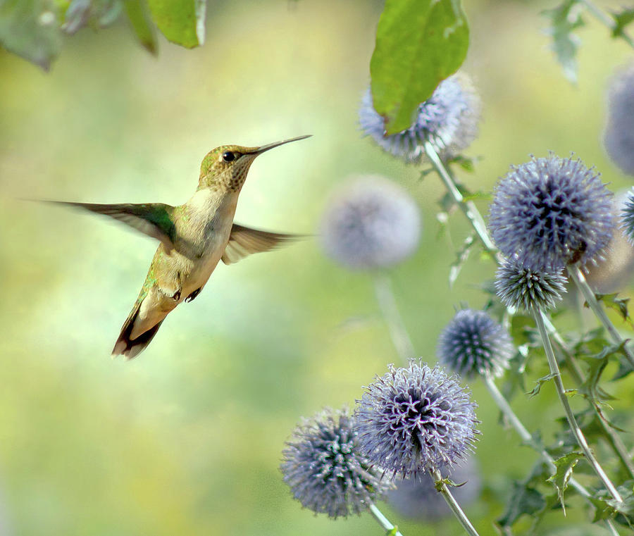 Hovering Hummingbird Photograph by Nancy Rose