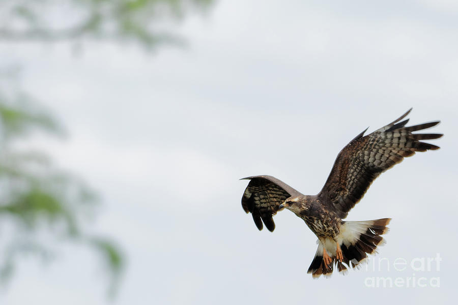 Hawk Photograph - Hovering Snail Kite by Natural Focal Point Photography
