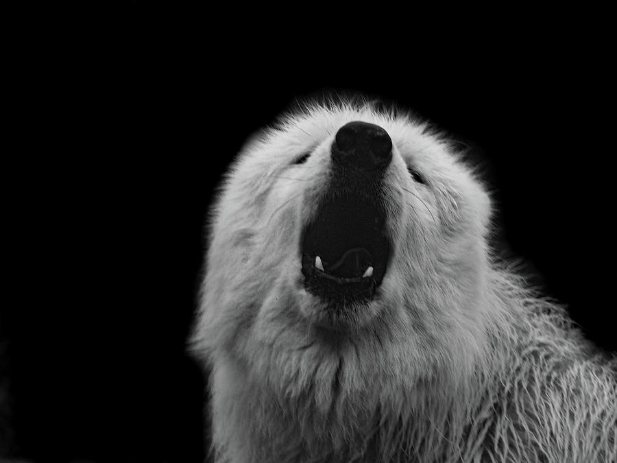 HOWLING ARCTIC WOLF by Elie Wolf