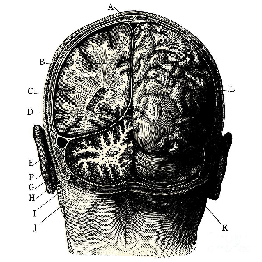 Engraving Digital Art - Humain Brain -vintage Engraved by Lynea
