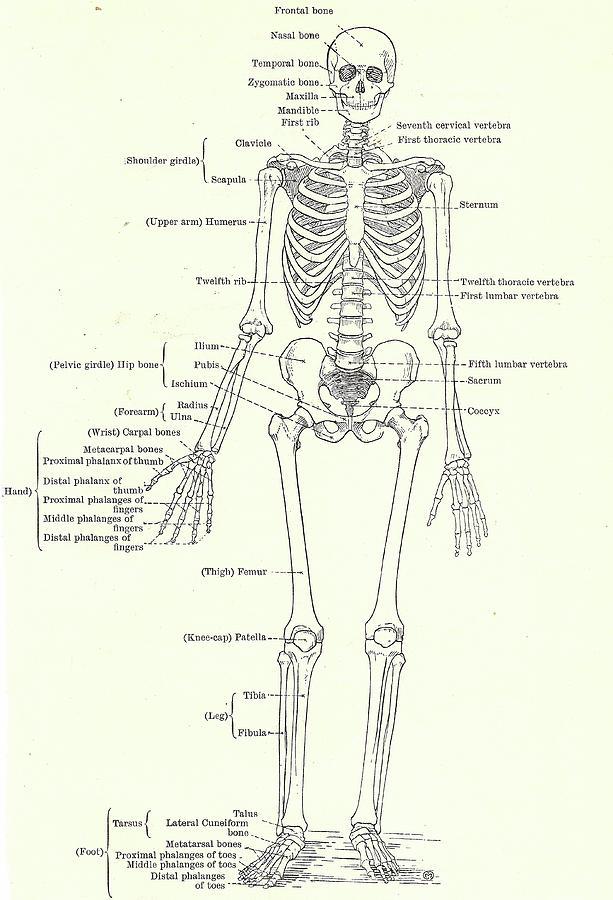 Human skeleton, full frontal view by Steve Estvanik