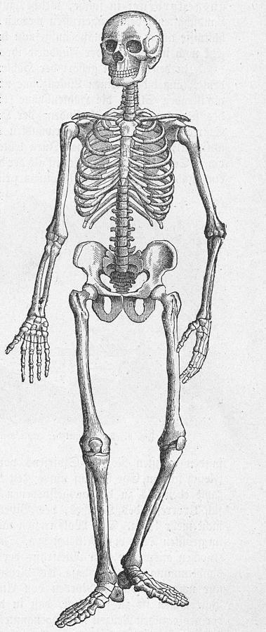 Human Skeleton Photograph by Kean Collection
