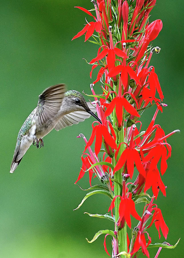 Hummer on Cardinal Flower by William Jobes