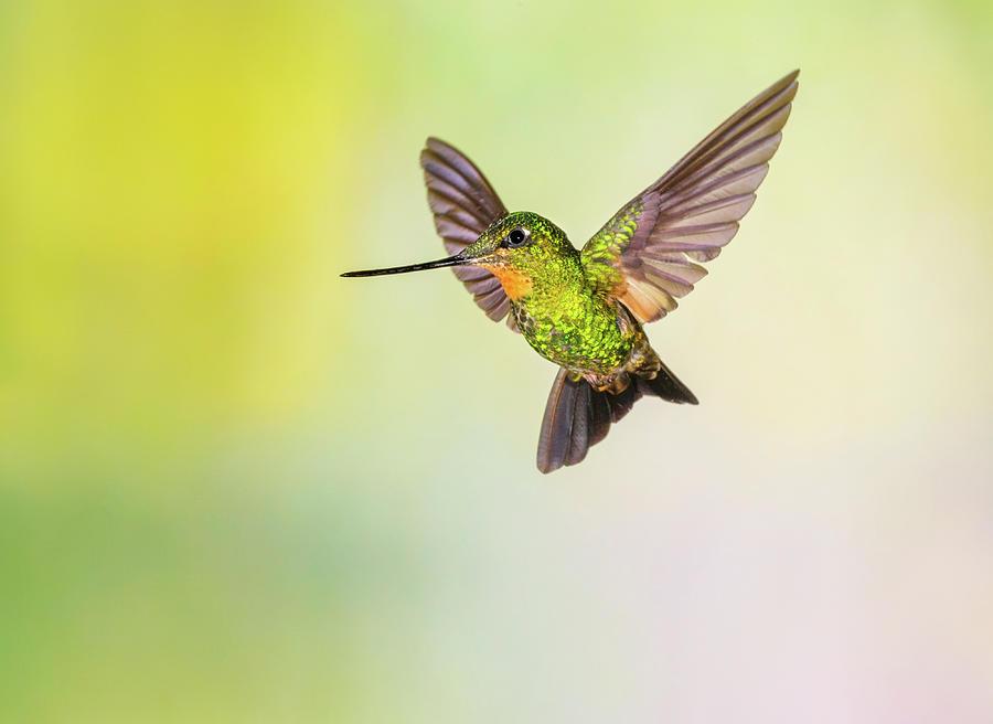 Hummingbird , Buff-winged Starfrontlet Photograph by Kencanning