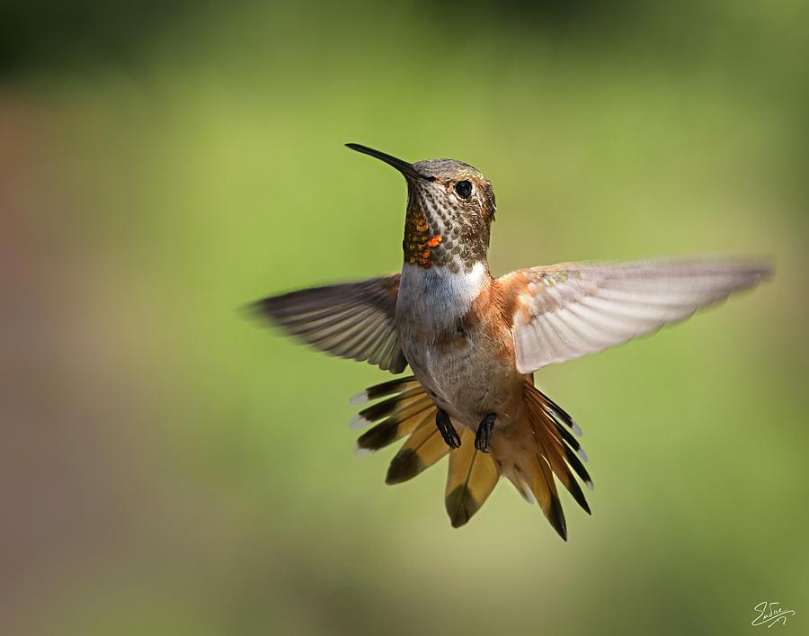 Hummingbird 6 by Endre Balogh