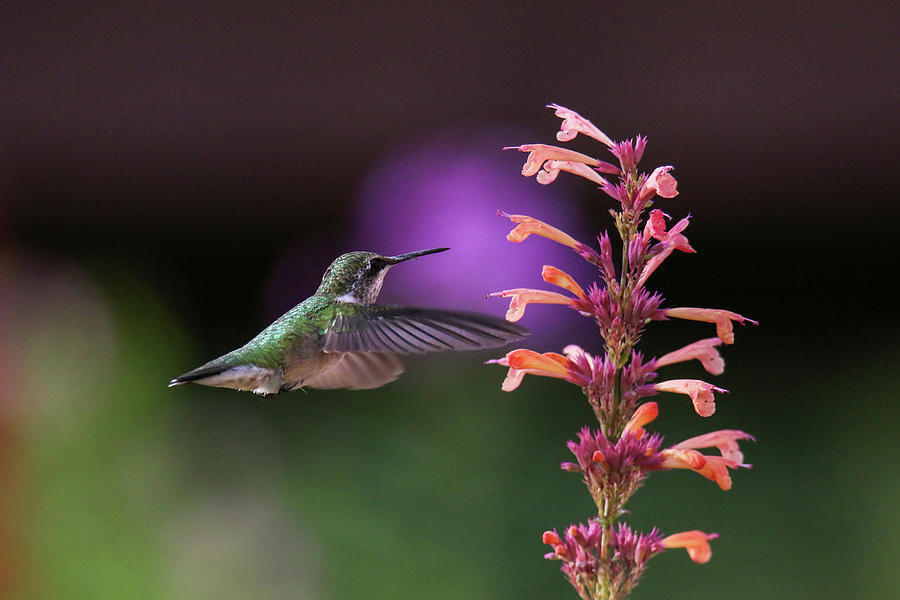 Hummingbird and Agastache Plant by Brook Burling