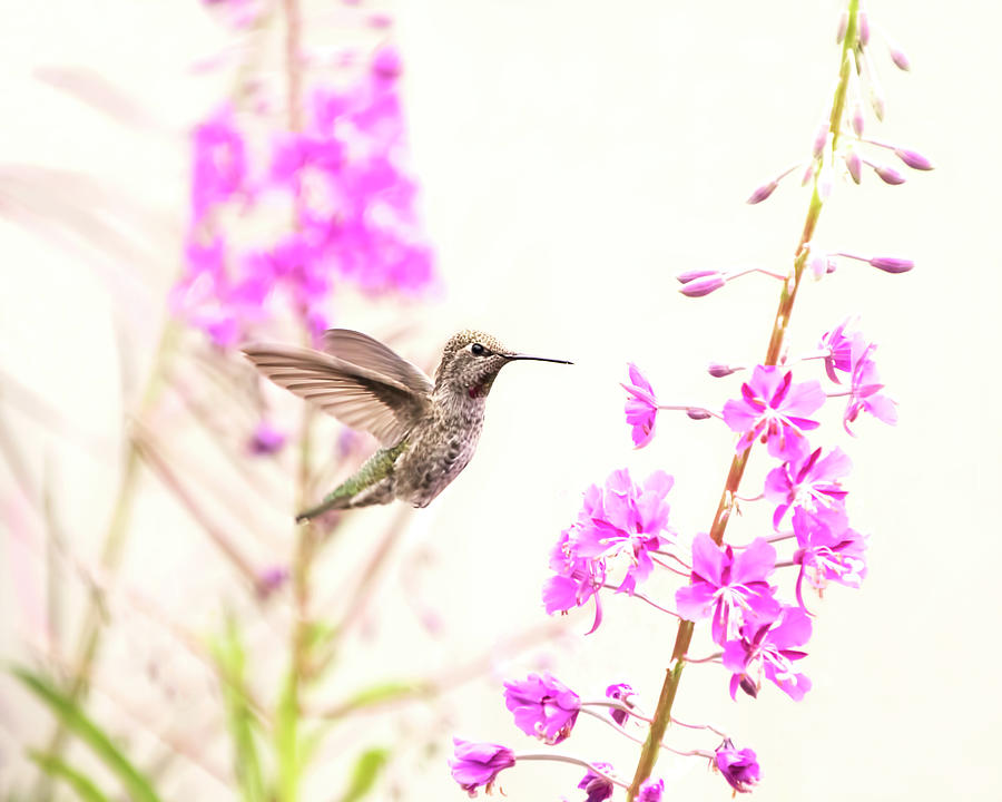Hummingbird and Fireweed by Peggy Collins