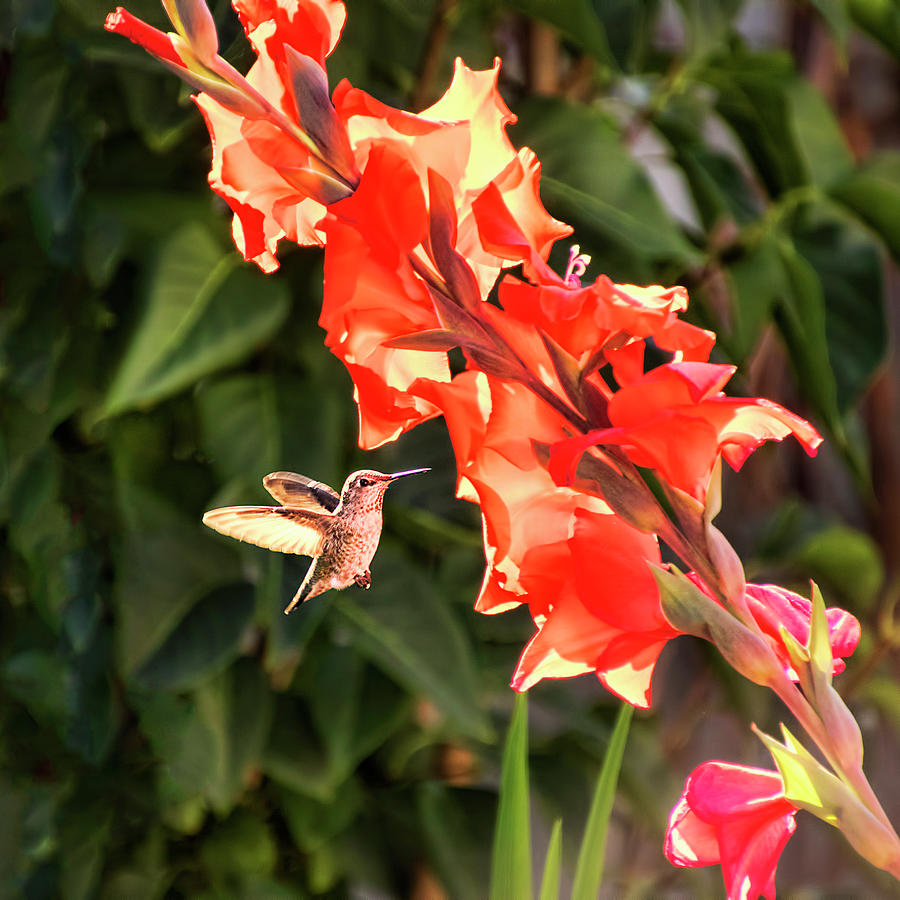 Hummingbird and Gladiolus by Peggy Collins