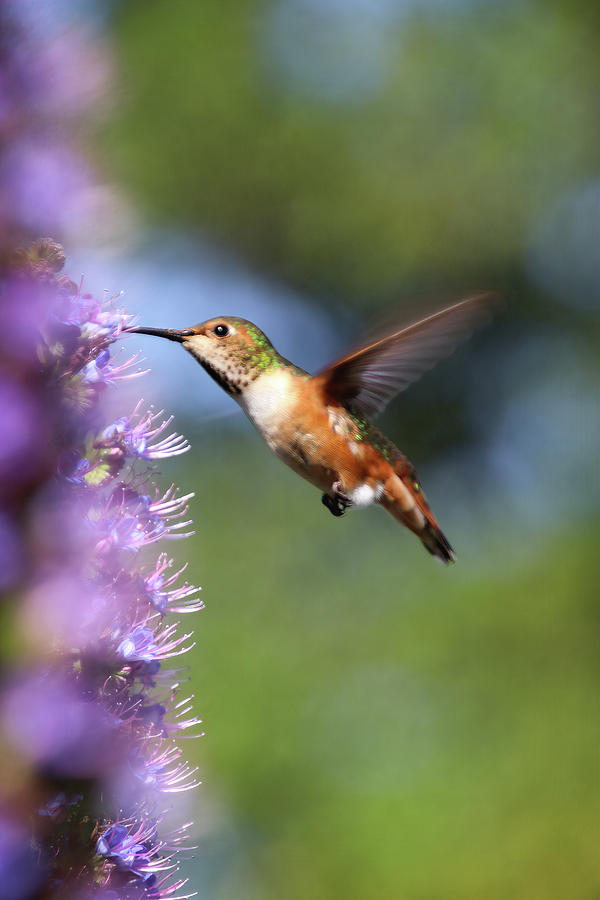Hummingbird and Purple Flowers by Diana Haronis