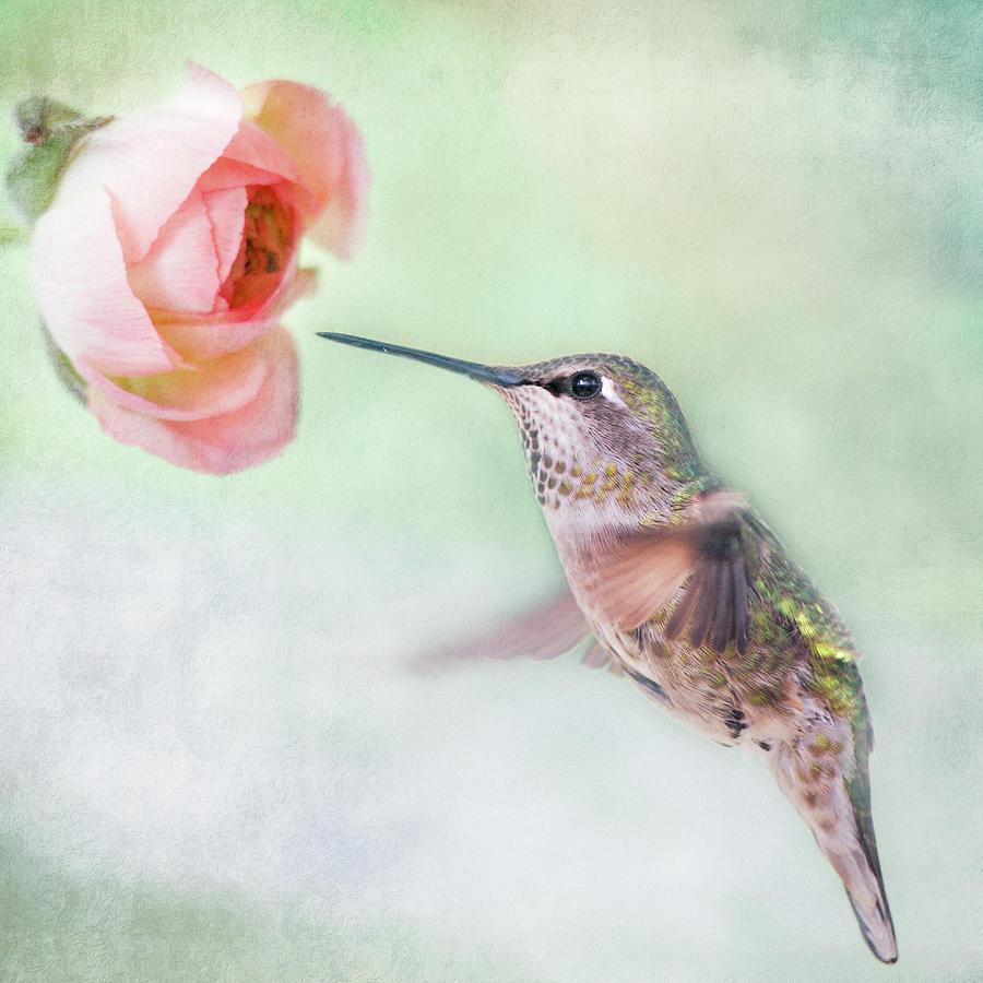 Hummingbird And Ranunculus Photograph by Susangaryphotography