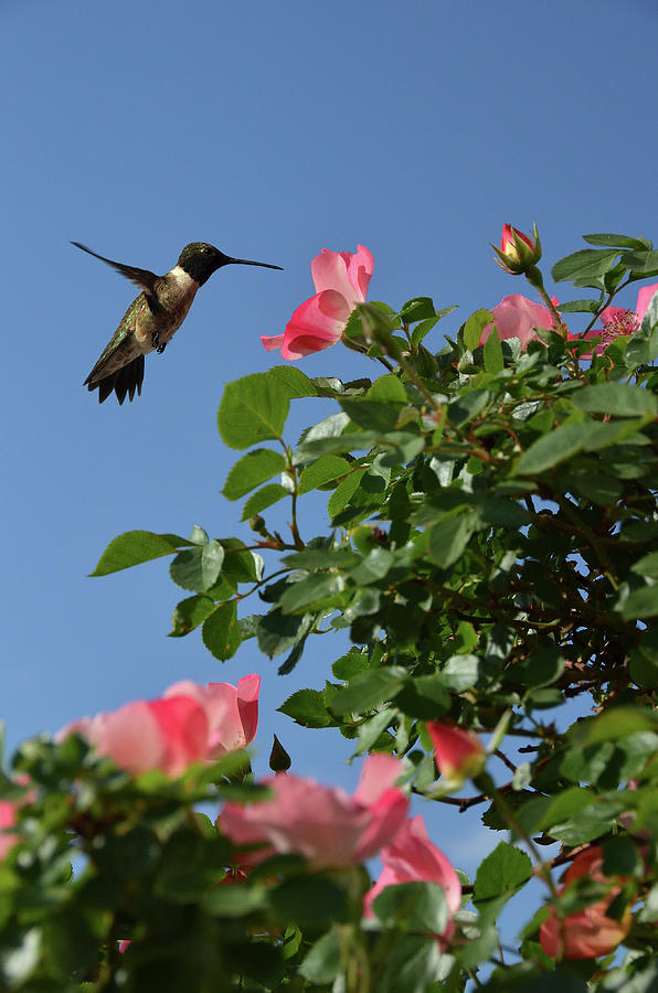 Hummingbird And Roses Photograph by Federica Grassi