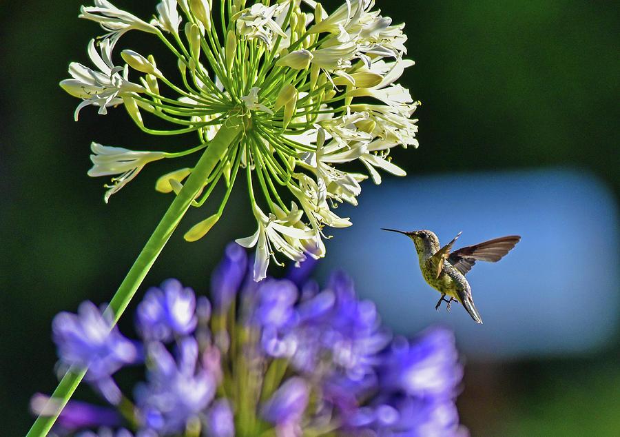 Hummingbird At Agapanthus 2 Photograph