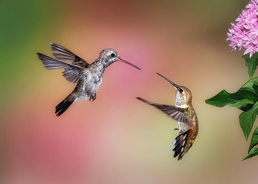 Hummingbird Battle by Scott Bourne
