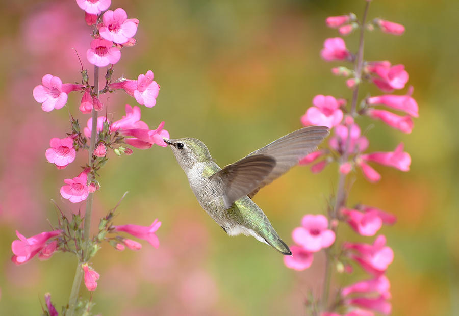 Hummingbird Buffet 5 by Fraida Gutovich