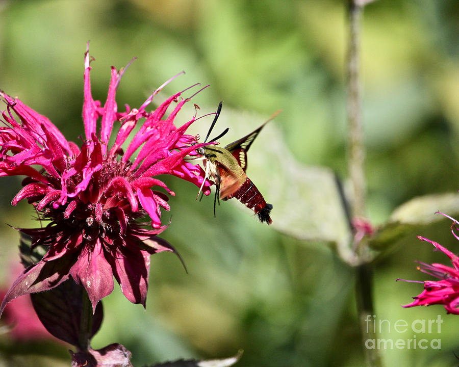 Hummingbird Clearwing Moth by Tim Lent