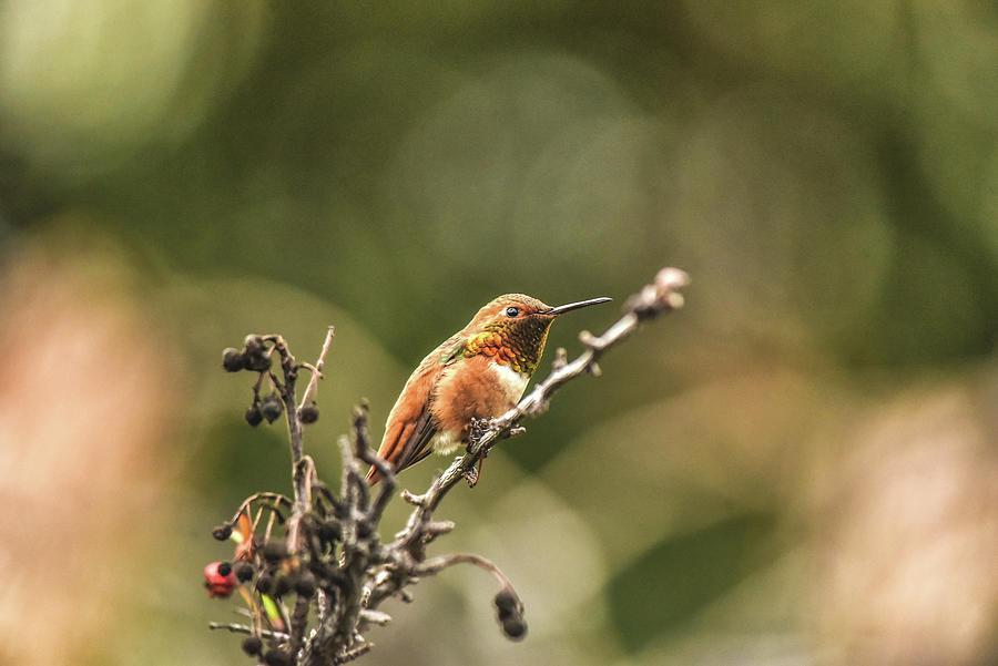 Hummingbird Contemplation 1  by Linda Brody