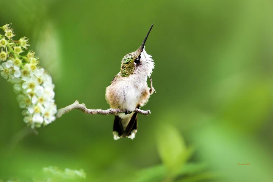 Hummingbird Flexibility by Christina Rollo