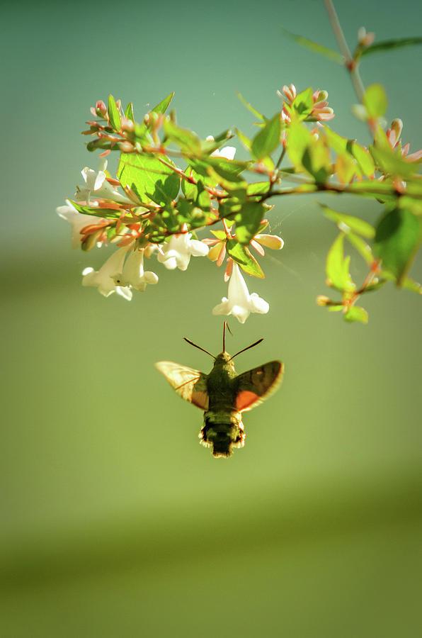 Hummingbird Photograph - Hummingbird Hawk-moth by Carlos Caetano