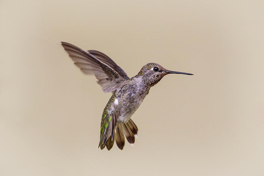 Hummingbird Hover by Wes and Dotty Weber