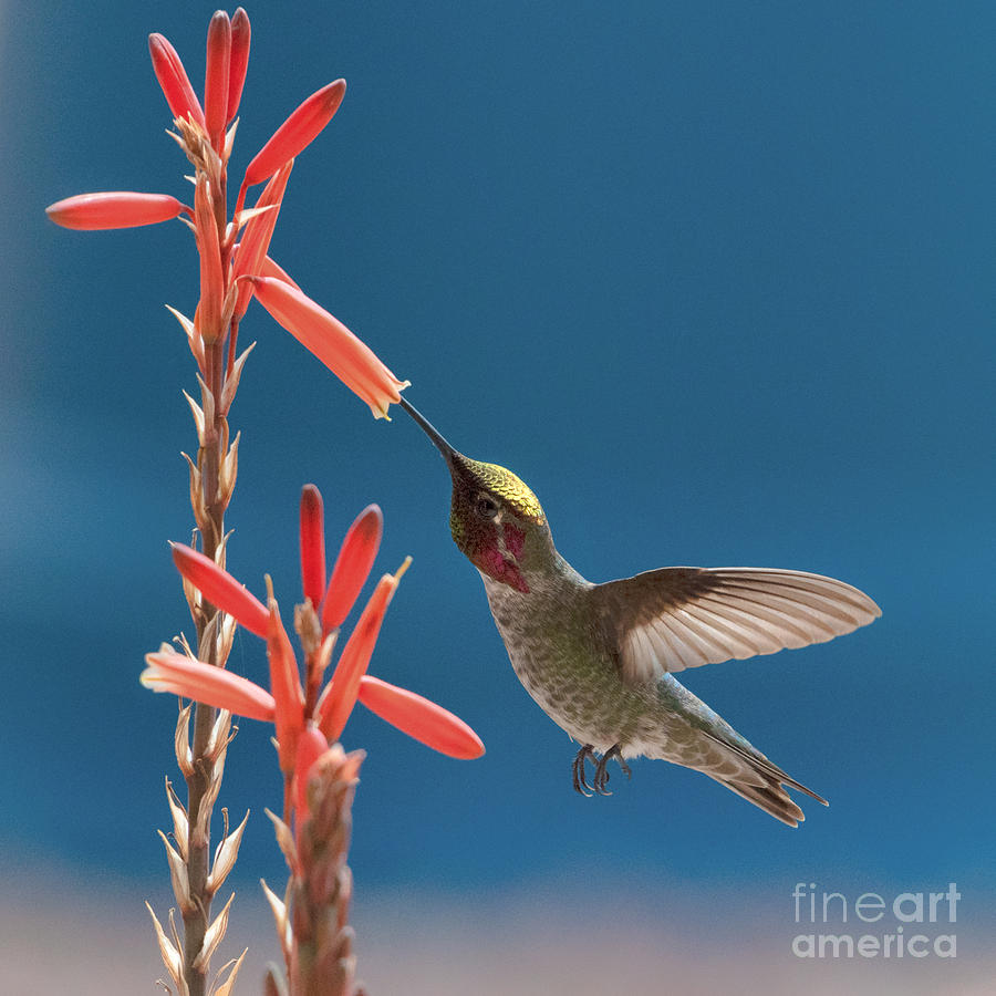 Hummingbird in Alloe by Lisa Manifold