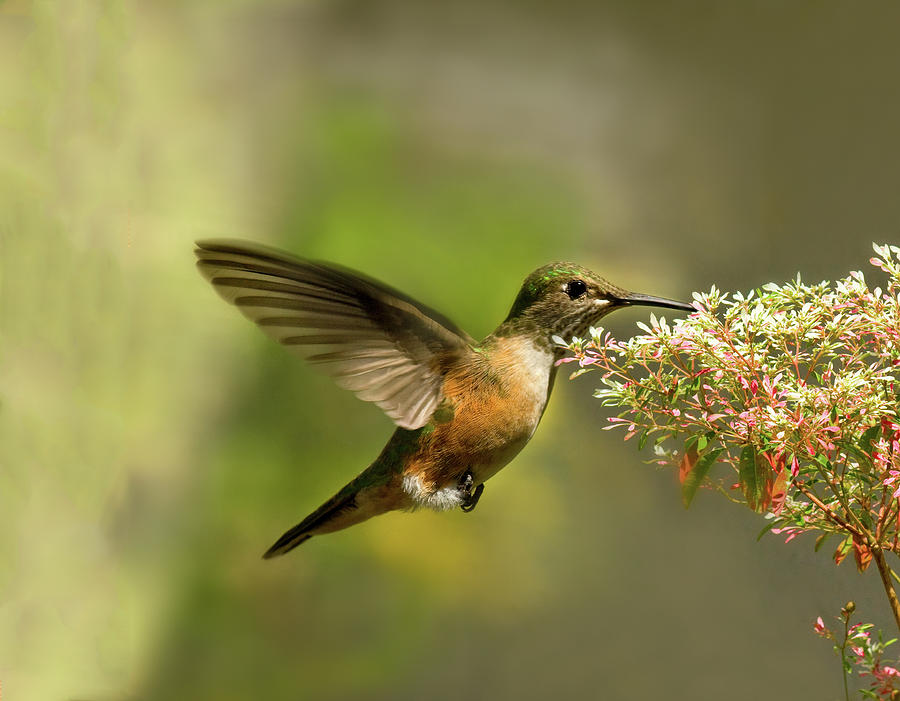 Hummingbird In Flight Drinking From Photograph by Melinda Moore