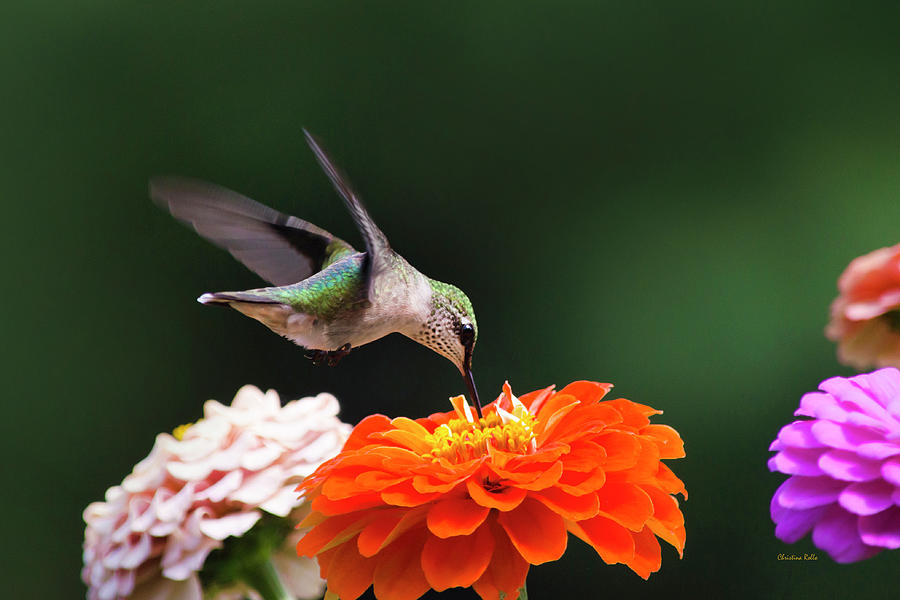 Hummingbird in Flight with Orange Zinnia Flower by Christina Rollo