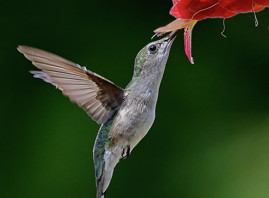 Hummingbird Kisses Flower by William Jobes