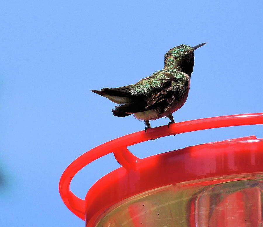 Hummingbird Macro Relief