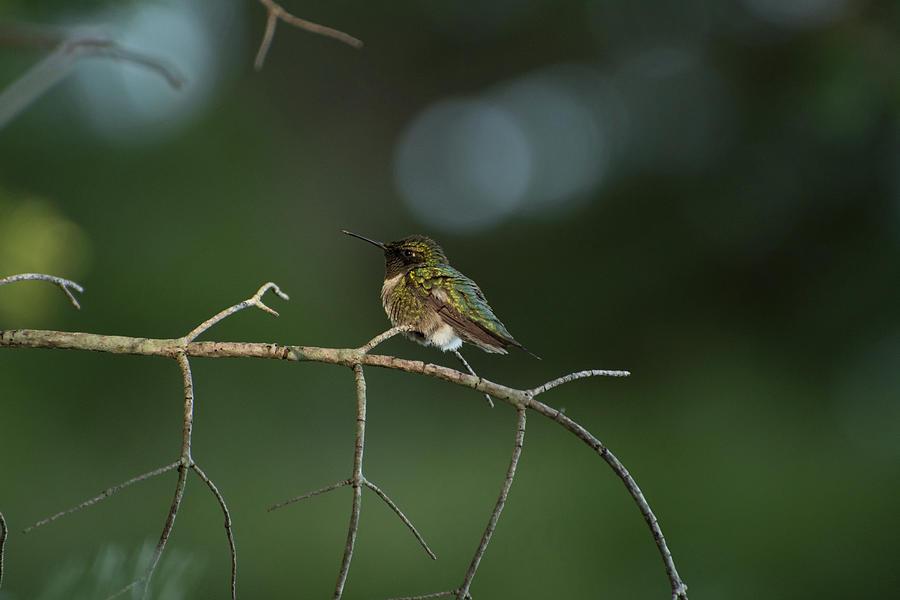 Hummingbird Photograph - Hummingbird On A Branch by John Rowley
