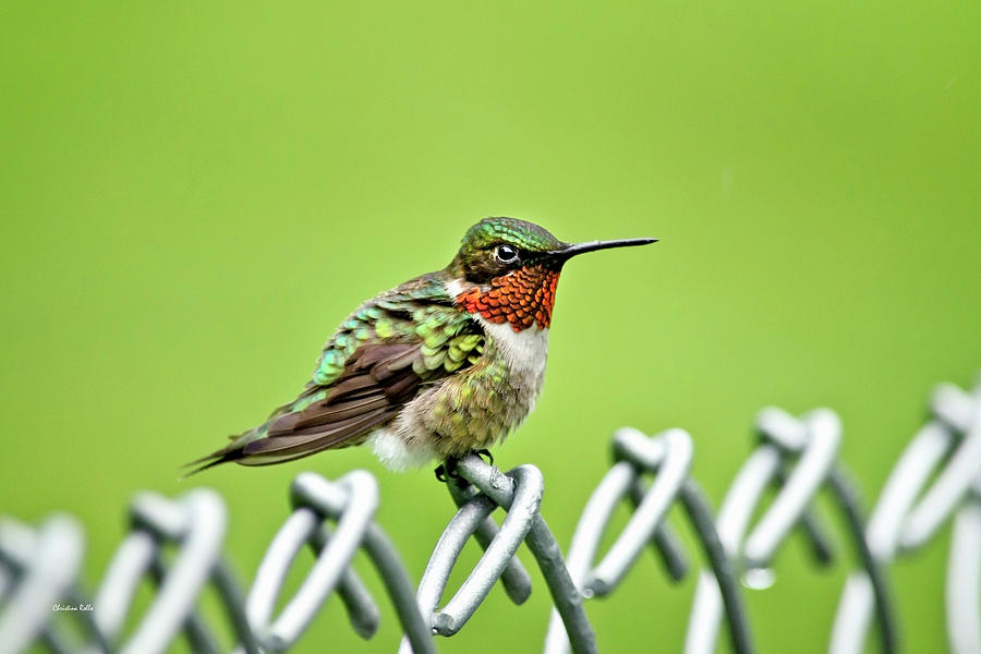Bird Photograph - Hummingbird On A Fence by Christina Rollo