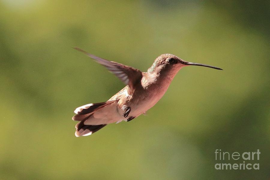 Hummingbird Pause by Carol Groenen