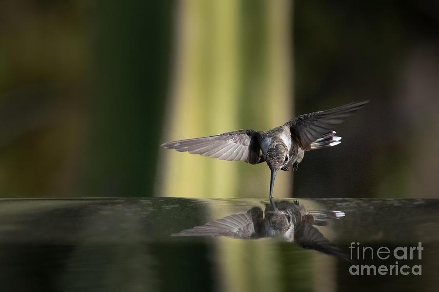 Hummingbird Reflection by Lisa Manifold