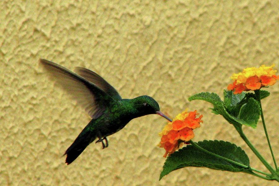 Hummingbird Photograph by Vi Lima