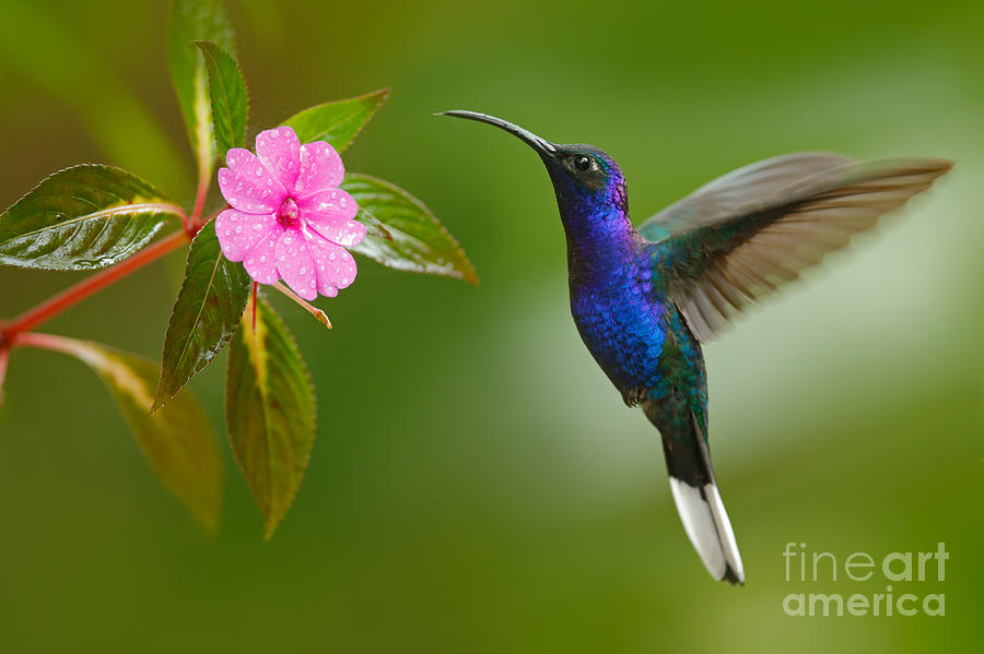 Small Photograph - Hummingbird Violet Sabrewing Flying by Ondrej Prosicky