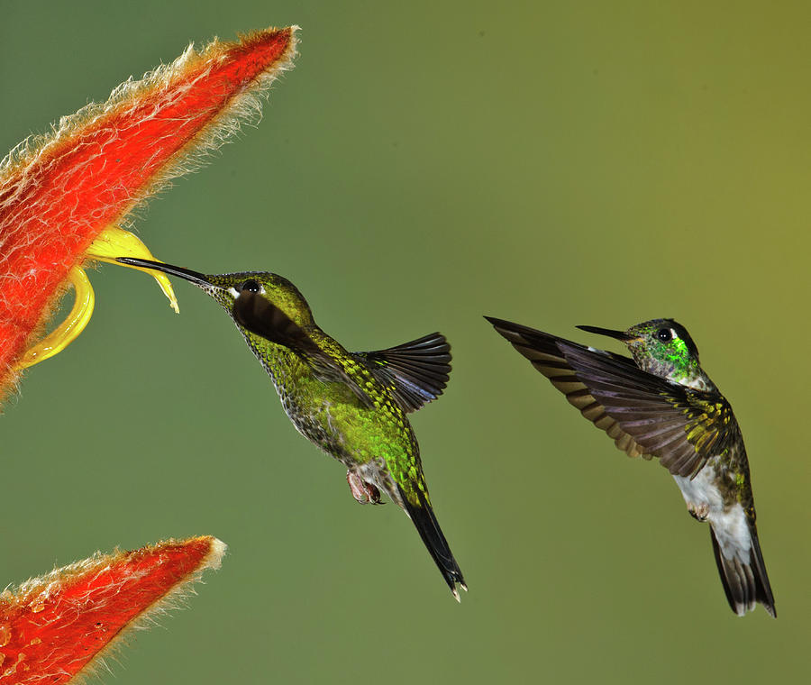 Hummingbirds At Flower Photograph by Myer Bornstein - Photo Bee 1