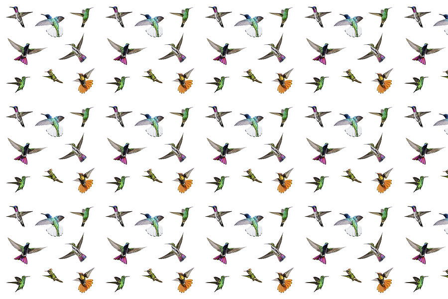 Hummingbirds Digital Art - Hummingbirds Of Trinidad And Tobago On White by Rachel Lee Young