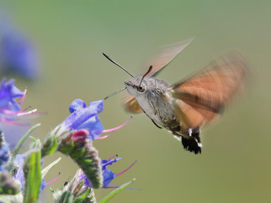 Hummingmoth Photograph by By Mediotuerto