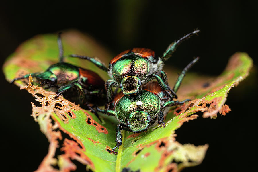 Hump Day Beetles Photograph by Brian Hale