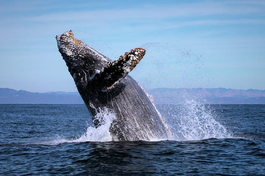 Humpback Breaching - 01 by Cheryl Strahl
