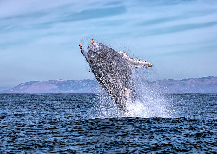 Humpback Breaching - 02 by Cheryl Strahl