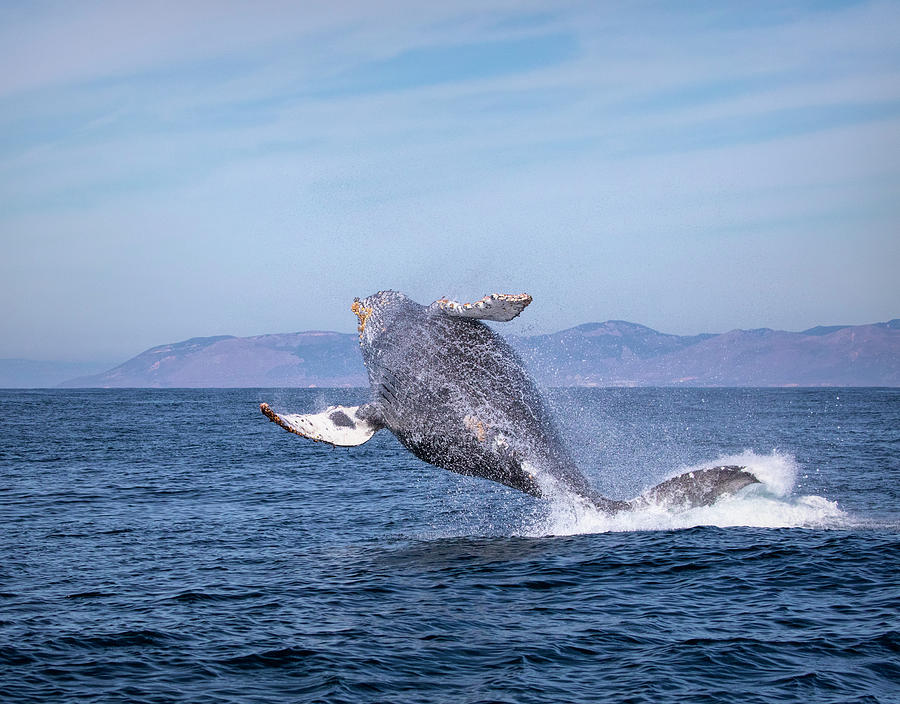 Humpback Breaching - 03 by Cheryl Strahl