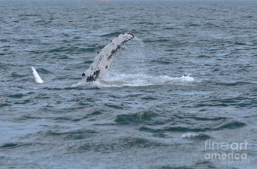 Humpback Flippers Photograph