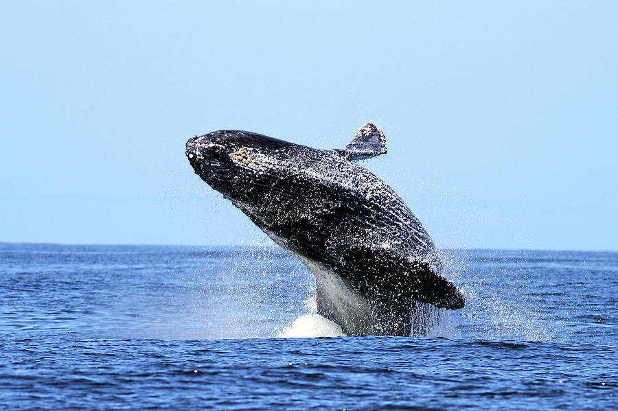 Humpback Whale Breaching Photograph by Maureen P Sullivan