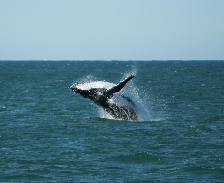 Humpback Whale Breaching Photograph by Peter K Leung