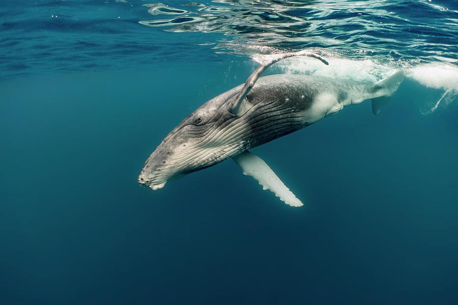 Humpback Whale Calf Photograph by Tui De Roy
